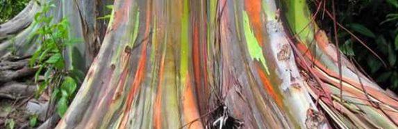 Eucalyptus deglupta jeb krāsainais koks