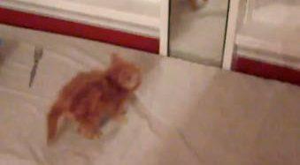 Kaķēns pirmo reizi satiek spoguli