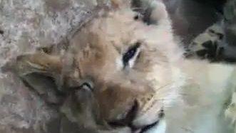 Miegains lauvu bēbis