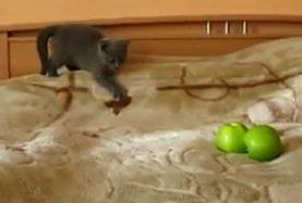 Smieklīgs kaķēns cīnās ar āboliem